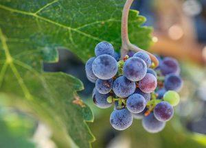 Creston Village | Local photo of grapes