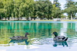 Elk Grove Park | Local Photo of Ducks in Lake