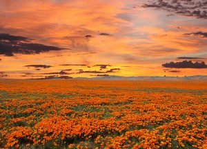 The Havens at Antelope Valley | Local flower field