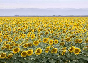 The Village at Rancho Solano | Local sunflower field